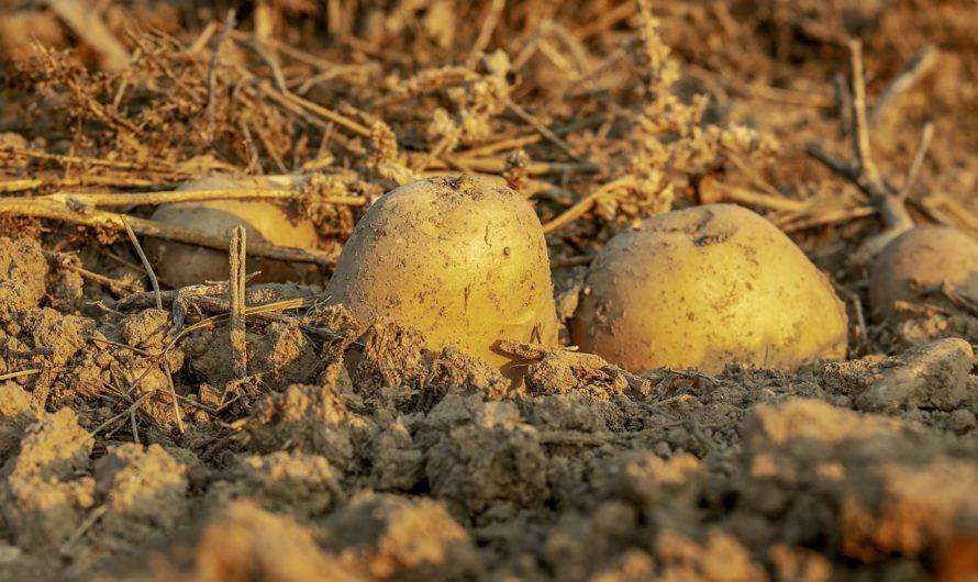 Planter des pommes de terre dans son jardin potager